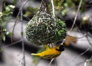 Ce nid abrite un petit oiseau très malin.